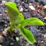 Горох Жегалова 112 всходы 8-е сутки росток