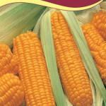 Кукуруза сахарная Ника