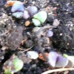 Базилик фиолетовый всходы на 8-е сутки