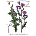 Cirsium arvense - бодяк полевой / осот розовый