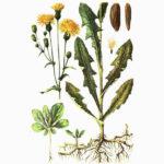 Sonchus arvensis - Осот желтый