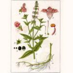 Stachys palustris - чистец болотный