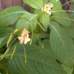 Недотро́га мелкоцветко́вая (лат. Impátiens parviflóra)