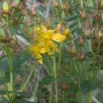 Зверобо́й пятни́стый (лат. Hypericum maculatum)
